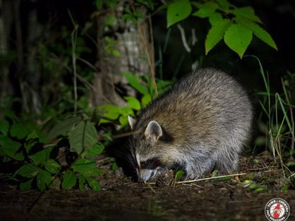 Two Raccoons That Thoroughly Ransacked The Home Of A Vacationing Couple Were Captured Hiding In The Bathroom