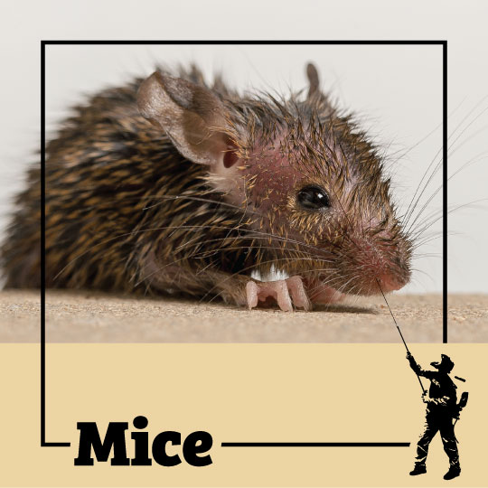 mice, mouse, town and country, town and country pest solutions, pest, pests, rochester, syracuse, buffalo, rochester ny, syracuse ny, buffalo ny, new york, western ny, rochester exterminators, syracuse exterminators, buffalo exterminators, bed bugs, fabry, matt fabry, extermination, hire the pros, friendly, trustworthy