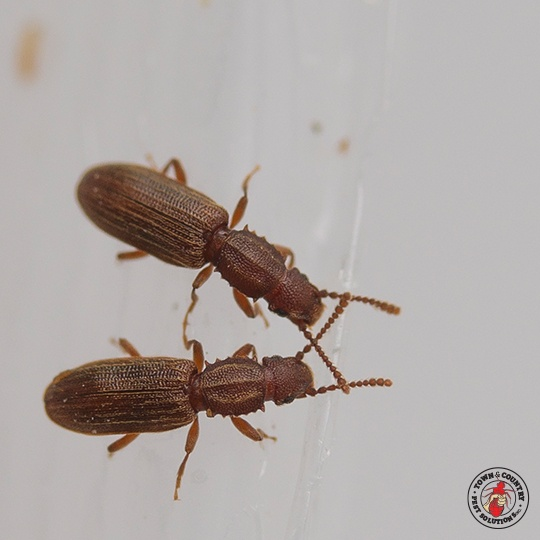 red flour beetle, grain beetle, sawtooth grain beetle, town and country, town and country pest solutions, pest, pests, rochester, syracuse, buffalo, rochester ny, syracuse ny, buffalo ny, new york, western ny, rochester exterminators, syracuse exterminators, buffalo exterminators, bed bugs, fabry, matt fabry, extermination, hire the pros, friendly, trustworthy