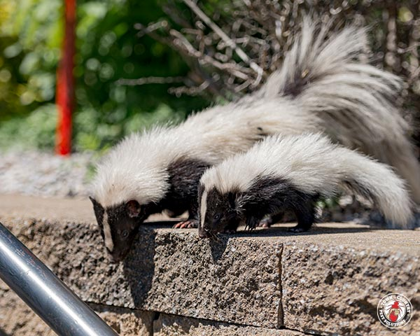 skunk, skunks, town and country, town and country pest solutions, pest, pests, rochester, syracuse, buffalo, rochester ny, syracuse ny, buffalo ny, new york, western ny, rochester exterminators, syracuse exterminators, buffalo exterminators, bed bugs, fabry, matt fabry, extermination, hire the pros, friendly, trustworthy