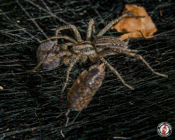 spider, spiders, arachnid, arachnophobia, town and country, town and country pest solutions, pest, pests, rochester, syracuse, buffalo, rochester ny, syracuse ny, buffalo ny, new york, western ny, rochester exterminators, syracuse exterminators, buffalo exterminators, bed bugs, fabry, matt fabry, extermination, hire the pros, friendly, trustworthy
