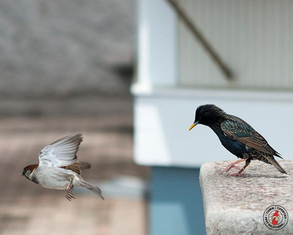 starling, starlings, town and country, town and country pest solutions, pest, pests, rochester, syracuse, buffalo, rochester ny, syracuse ny, buffalo ny, new york, western ny, rochester exterminators, syracuse exterminators, buffalo exterminators, bed bugs, fabry, matt fabry, extermination, hire the pros, friendly, trustworthy