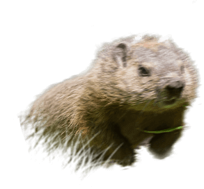 groundhog, chipmunks, squirrel, raccoon, town and country, town and country pest solutions, pest, pests, rochester, syracuse, buffalo, rochester ny, syracuse ny, buffalo ny, new york, western ny, rochester exterminators, syracuse exterminators, buffalo exterminators, bed bugs, fabry, matt fabry, extermination, hire the pros, friendly, trustworthy
