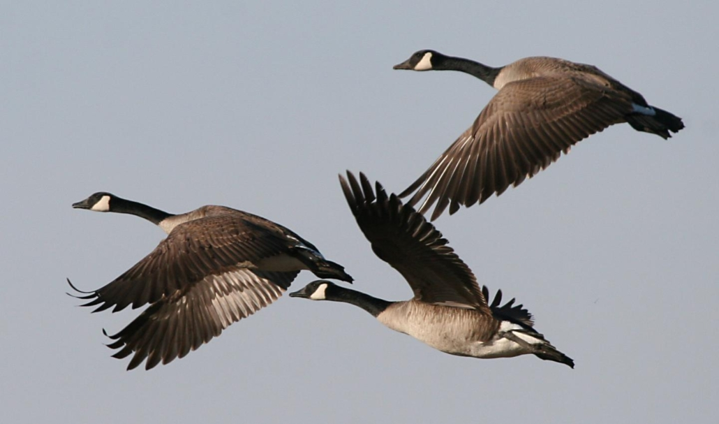 Image result for Canada geese in flight