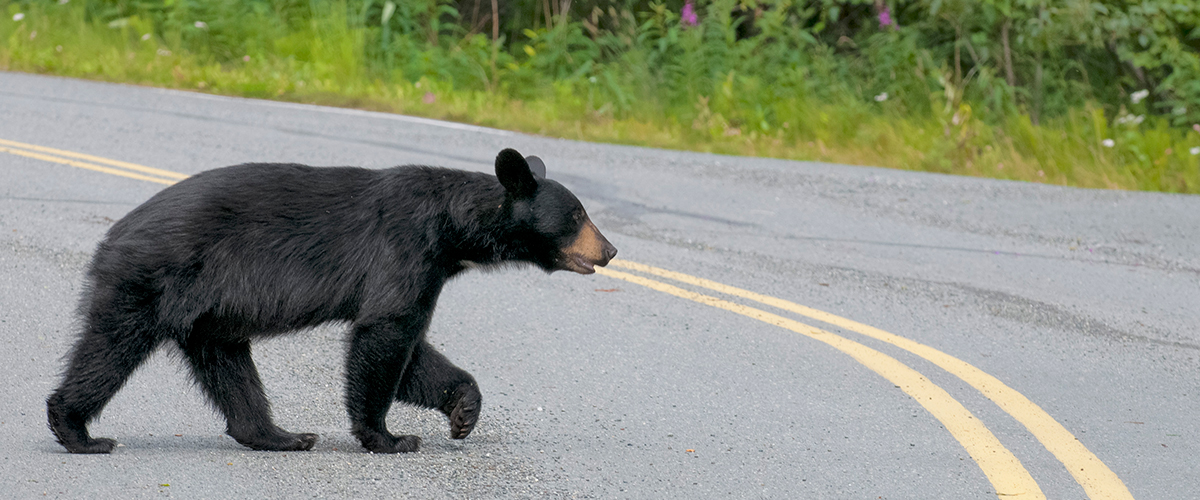 nuisance black bears town