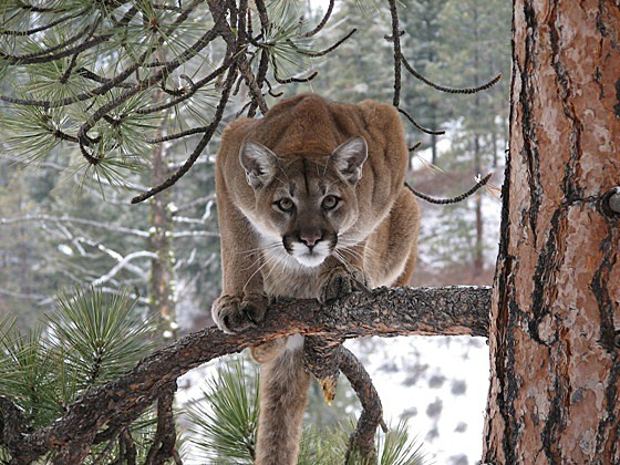 mountain lions stalking prey