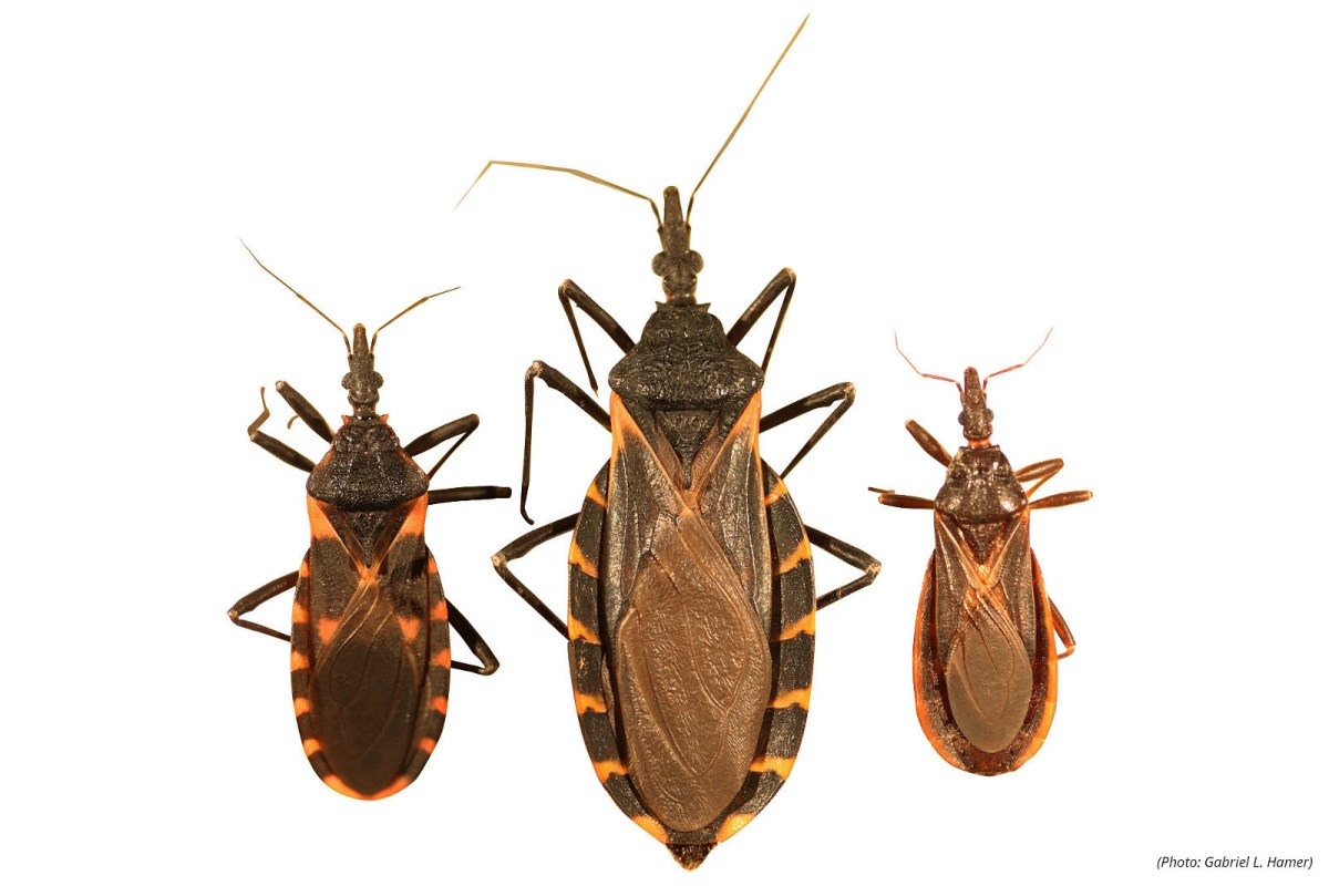 Kissing Bug Defecates In Face Kills Heart Muscle Near Nj