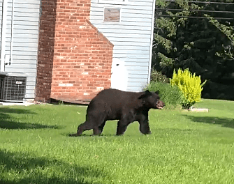 bears are being seen