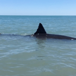 This Huge Great White Shark Got Stuck in 3 Feet of Water