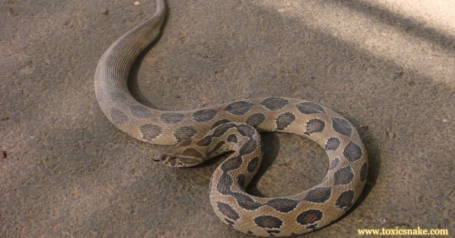 Russell Viper 10 Most Venomous Snakes in India