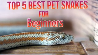 Top 5 Best Pet Snakes for Beginners