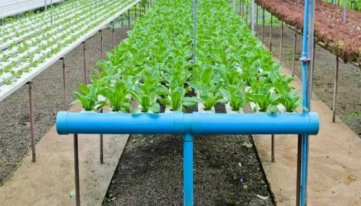 hydroponics 525x300 - Project Pages - Horticulture Projects
