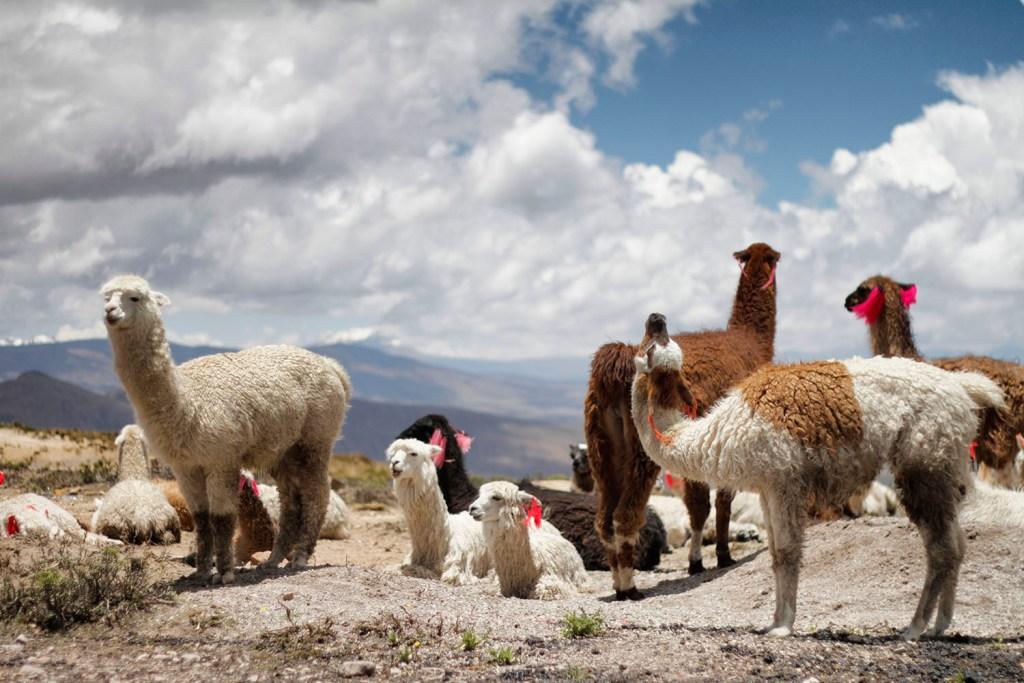 Toy Fan TV llamas looking