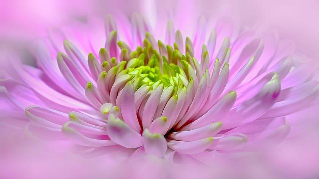 ピンクの美しい一輪のダリア