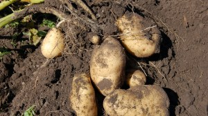 potatoes vegetable plant patata hortaliza ortagigo terra tierra land