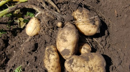 potatoes vegetable plant patata hortaliza ortagigo terra tierra land