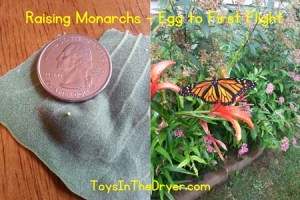 Raising Monarchs Part 3
