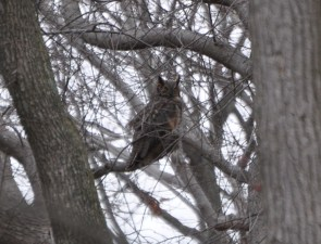 What a superb owl