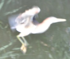 Bitterns are superfast and they get blurrier when they fly. FACT