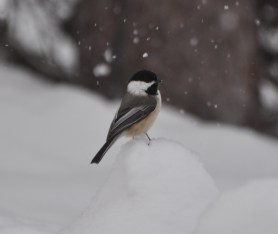 Checkin' out the chickadees