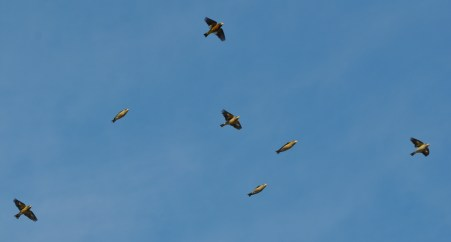 Flyover finch flock