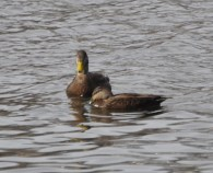 Worker ducks