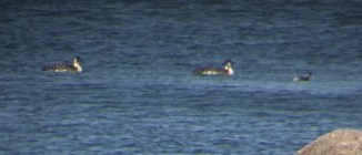 The shadow of grebe, that is