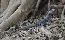 Iguana get to know you