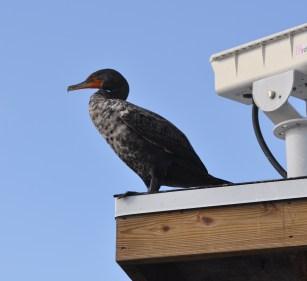 The Common Cormorant