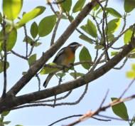 Bahama birding in your backyard!