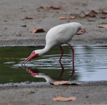 The whites of their ibis