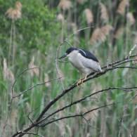 Day-Heron