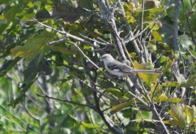 The Mock King Bird