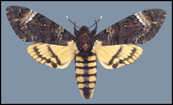 Zmierzchnica trupia główka (fot. www.tpittaway.tripod.com)