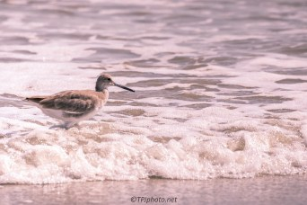Willet - Click To Enlarge
