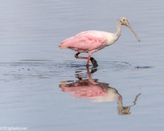 Roseate Spoonbill Feeding In The Shallows - Click To Enlarge