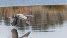 A Series, In Flight Herons - Click To Enlarge