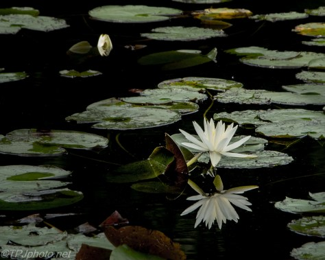 Pond Lily - Click To Enlarge