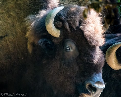 American Bison - Click To Enlarge