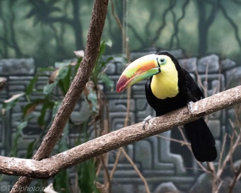 South American Toucan - Click To Enlarge