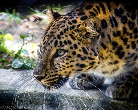 Amur Leopard - Click To Enlarge