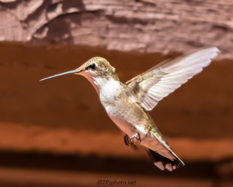 Female Black-chinned Hummingbird - Click To Enlarge