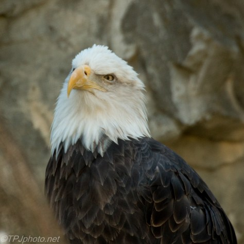 American Bald Eagle - Click To Enlarge
