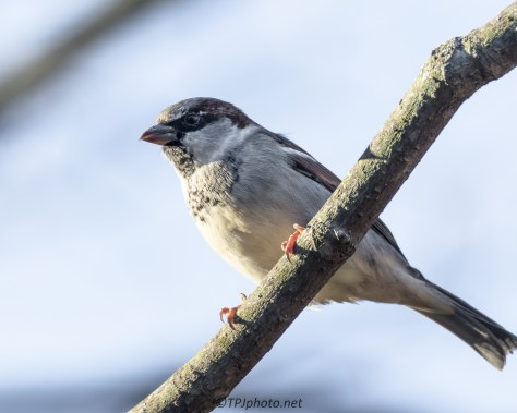 House Sparrow - Click To Enlarge