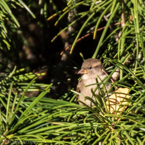 Female House Sparrow - Click To Enlarge
