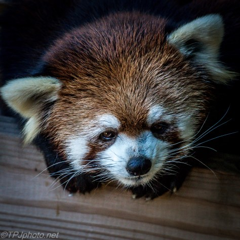 Red Panda - Click To Enlarge