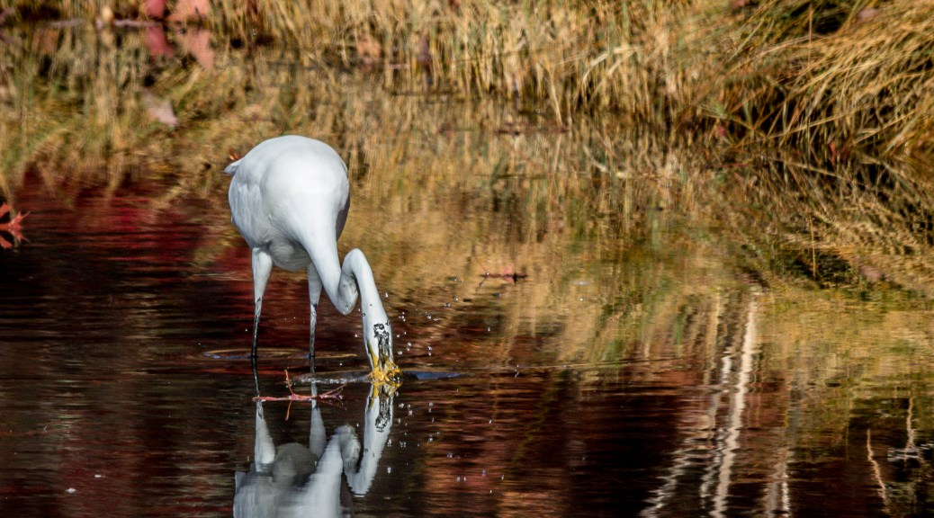 Egret In The Reeds - Click To Enlarge