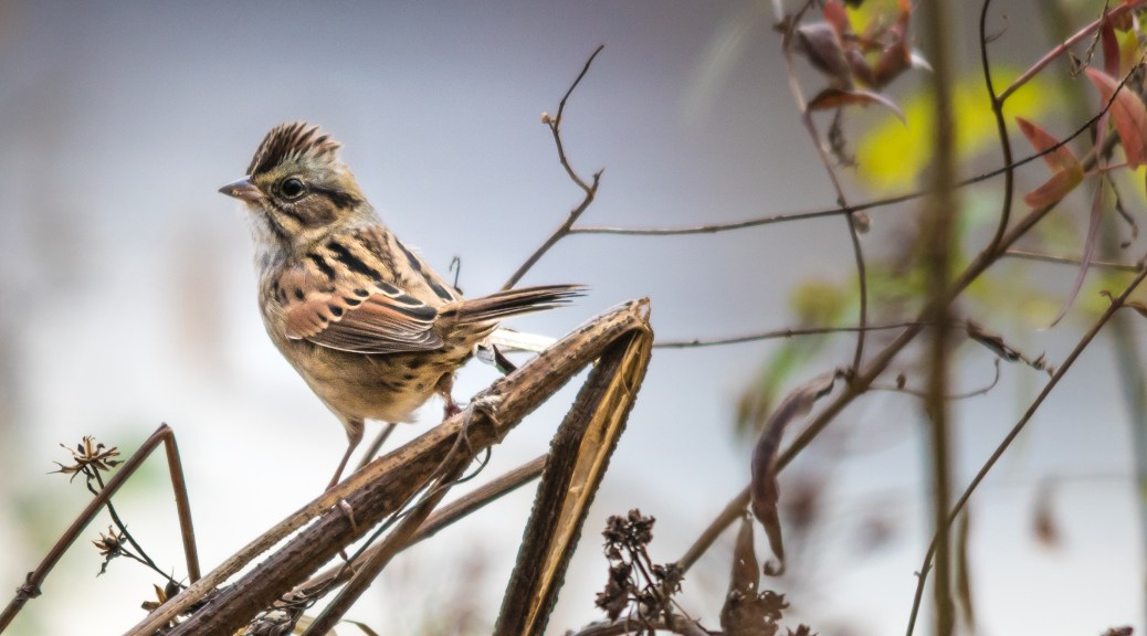 Song Sparrow, Connecticut - Click To Enlarge