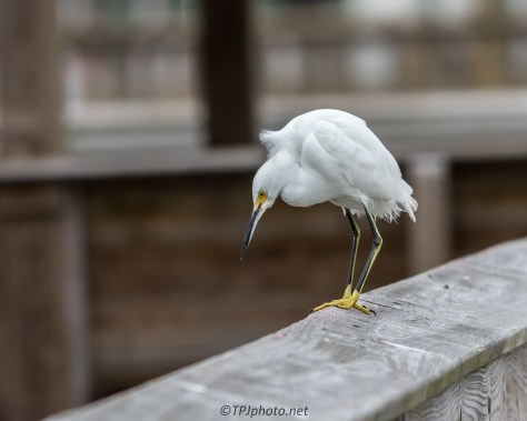 Snowy Egret On The Pier - Click To Enlarge