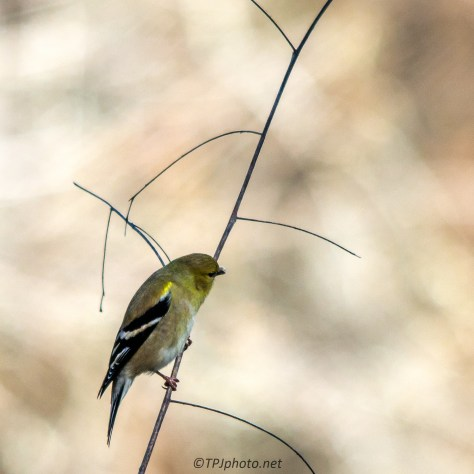 Goldfinch - Click To Enlarge